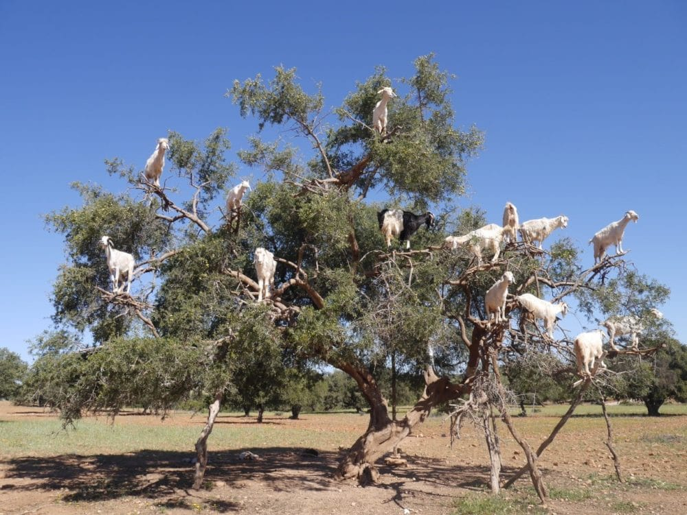 モロッコ アンガンツリー ヤギ