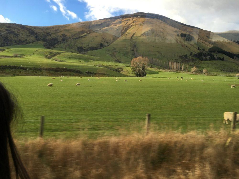 ニュージーランド ミルフォードサウンド 羊