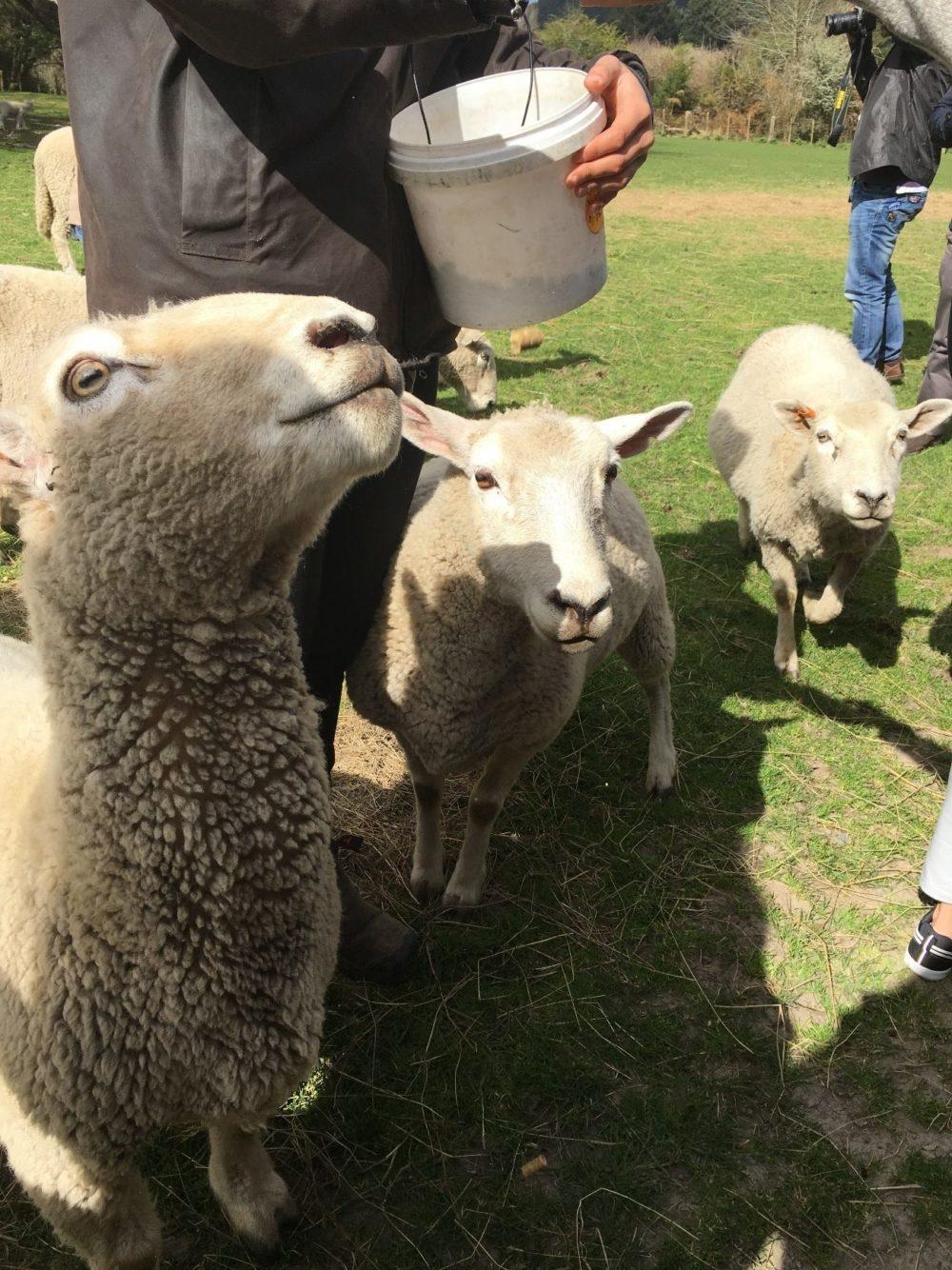 ニュージーランド オークランド 羊